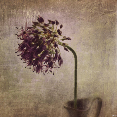 iphoneography - allium final
